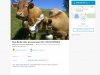 krowy2a